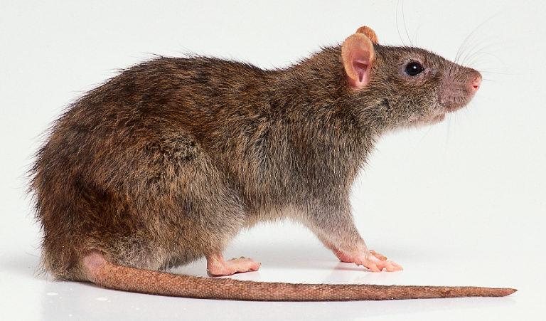 rats mulots rongeurs comment s y retrouver ac florennes. Black Bedroom Furniture Sets. Home Design Ideas
